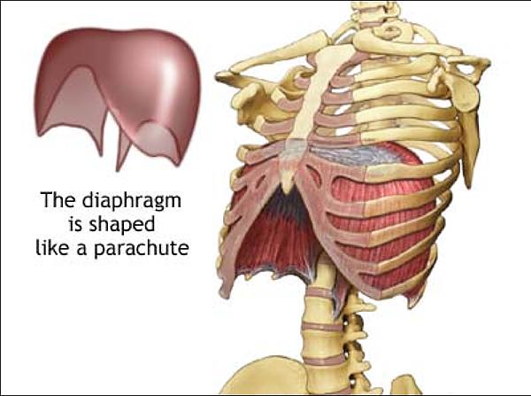 diaphragm-image